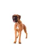 красивейший щенок боксера Стоковое Фото