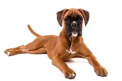 красивейший щенок боксера Стоковое Изображение
