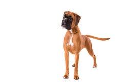 красивейший щенок боксера Стоковое Изображение RF
