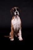 красивейший щенок боксера Стоковые Фотографии RF