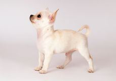 Красивейший щенок чихуахуа стоковое изображение