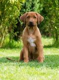 Красивейший щенок Rhodesian Ridgeback Стоковые Изображения RF