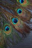 красивейший экзотический павлин пера глаз Стоковые Фото