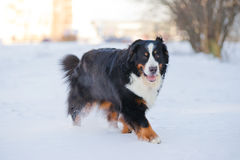 красивейший bernese снежок бега горы собаки Стоковое Изображение RF