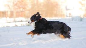 красивейший bernese снежок бега горы собаки Стоковое Изображение