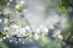 красивейший blossoming вал весны сливы Стоковое Изображение
