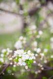 красивейший blossoming вал весны сливы Стоковые Фотографии RF