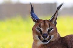 красивейший caracal кот Стоковое Изображение RF