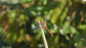 Красивейший dragonfly Стоковые Изображения RF
