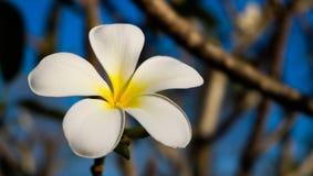 красивейший frangipani Стоковые Изображения RF
