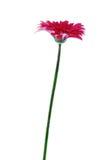 красивейший gerbera цветка Стоковое фото RF
