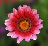 красивейший gerbera цветка Стоковая Фотография