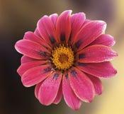 красивейший gerbera цветка Стоковые Изображения RF