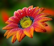 красивейший gerbera Стоковая Фотография