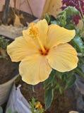 красивейший hibiscus цветка dof отмелый Стоковые Фотографии RF