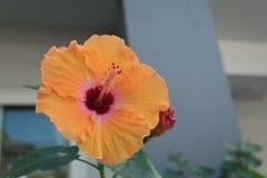 красивейший hibiscus цветка dof отмелый Стоковое фото RF