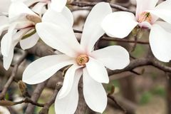 красивейший magnolia цветков Стоковое Фото
