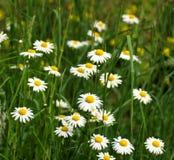 красивейший marguerite цветков Стоковые Фото