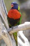 красивейший parakeet Стоковые Изображения