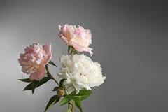 красивейший peony цветков Стоковые Фотографии RF