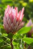 красивейший protea цветка тропический стоковые фотографии rf