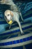 Красивейший retriever Лабрадора под водой Стоковые Фотографии RF