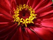 красивейший stamen цветка Стоковая Фотография