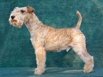 красивейший terrier Лейкленда стоковое фото rf
