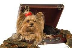 красивейший terrier yorkshire чемодана Стоковая Фотография
