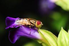 красивейшим syrphidae запятнанные глазом Стоковые Фото