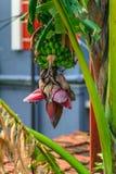 Красивое банановое дерево и розовый бутон стоковая фотография