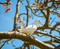 Красивое белое имперское пребывание птицы голубя самостоятельно на дереве стоковая фотография rf