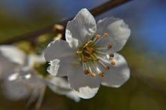 Красивое белое миндальное дерево в цветении на сельской местности Стоковое Фото