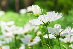 Красивое белое флористическое Стоковые Изображения RF