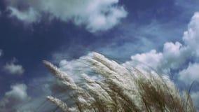 Красивое белое spontaneum дуя в ветре, предпосылка Saccharum завода цветка травы kash Kans голубого неба Дизайн для желания Su сток-видео