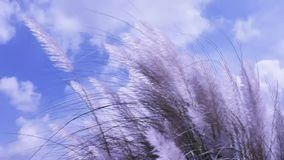 Красивое белое spontaneum дуя в ветре, предпосылка Saccharum завода цветка травы kash Kans голубого неба Дизайн для желания Su акции видеоматериалы