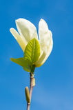 Красивое белое цветение цветка магнолии Стоковая Фотография