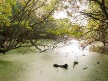 Красивое болото с ветвями дерева зеленых водорослей выше Стоковые Фотографии RF