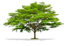 Красивое большое одно изолированное дерево Стоковые Фото