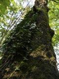 Красивое большое дерево в лесе который растет плющ Стоковое Изображение RF