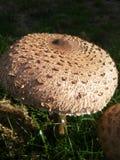 Красивое большое brownmushroom Стоковое Фото