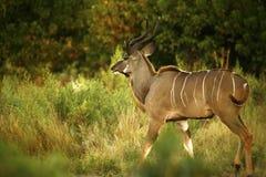 Красивое большое Kudu Bull Стоковые Изображения RF