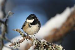 Красивое взрослое ater Periparus синицы угля садилось на насест на ветви предусматриванной в лишайнике и заволакивании снега Стоковая Фотография RF