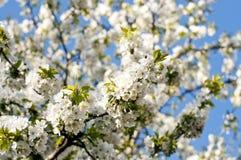 Красивое вишневое дерево белых цветков весны стоковые изображения rf