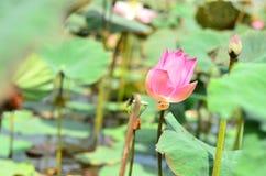 Красивое время - цветок лотоса Стоковое фото RF