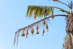Красивое гнездо ` s птицы ткача на дереве Смертная казнь через повешение гнезда ` s птицы на дереве Стоковые Изображения RF