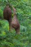 Красивое гнездо ` s птицы ткача Стоковое Изображение RF