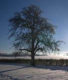 Красивое грушевое дерев дерево зимы стоковая фотография
