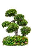 красивое декоративное дерево изолированное на белизне Стоковое Фото