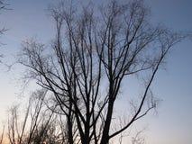 Красивое дерево без листьев на заходе солнца в осени в России стоковое фото rf